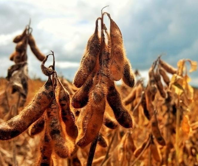 Paraná está colhendo safra recorde de soja este ano; Qual a explicação?