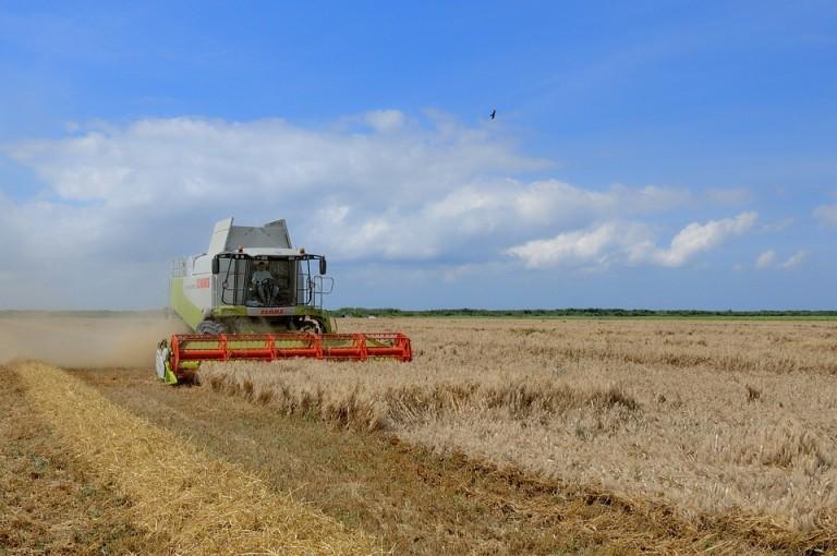 Efeito das geadas e clima seco são visíveis nas plantações de trigo