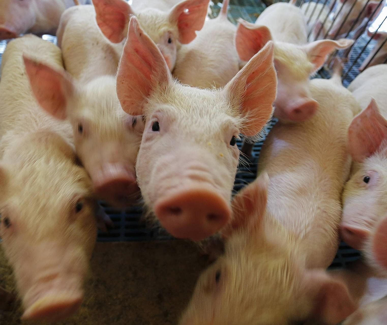 Entre estados do sul, só o Paraná evoluiu na comercialização de suínos