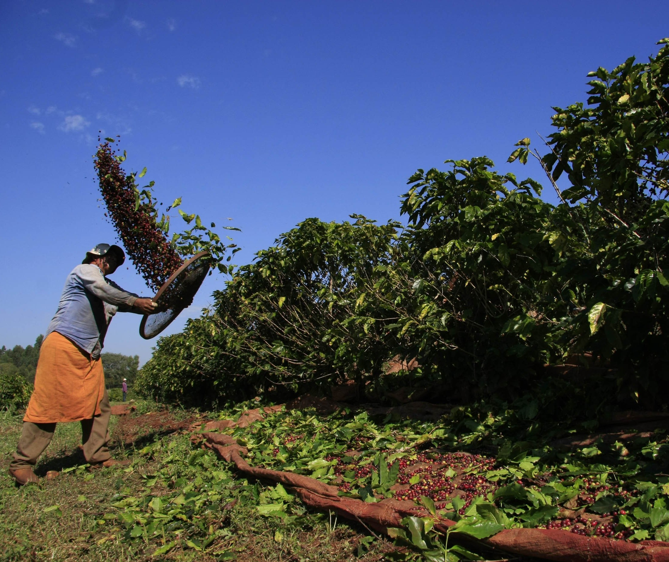 Colheita do café no Paraná encerra com saldo positivo