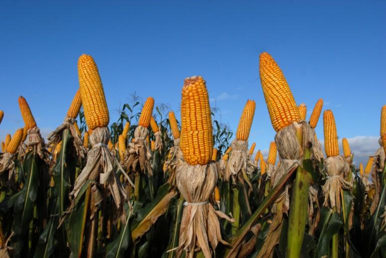 Segunda safra de milho é estimada em 66,2 mi de toneladas