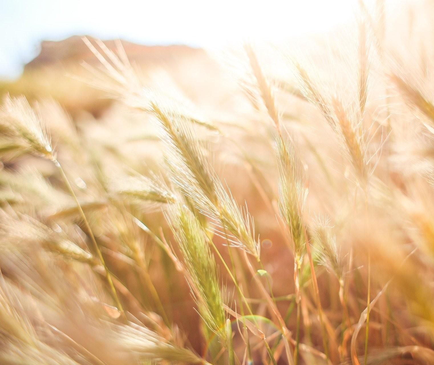 As colheitas do trigo e aveia no Paraná estão praticamente finalizadas