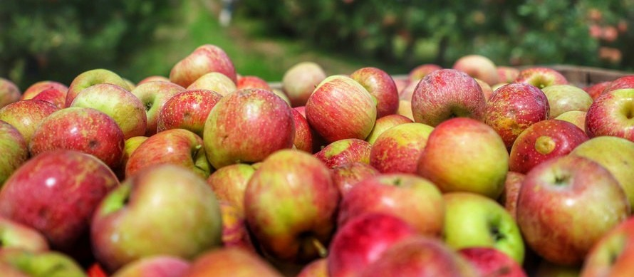 Pesquisa e tecnologia colocam o Paraná na rota nacional das maçãs
