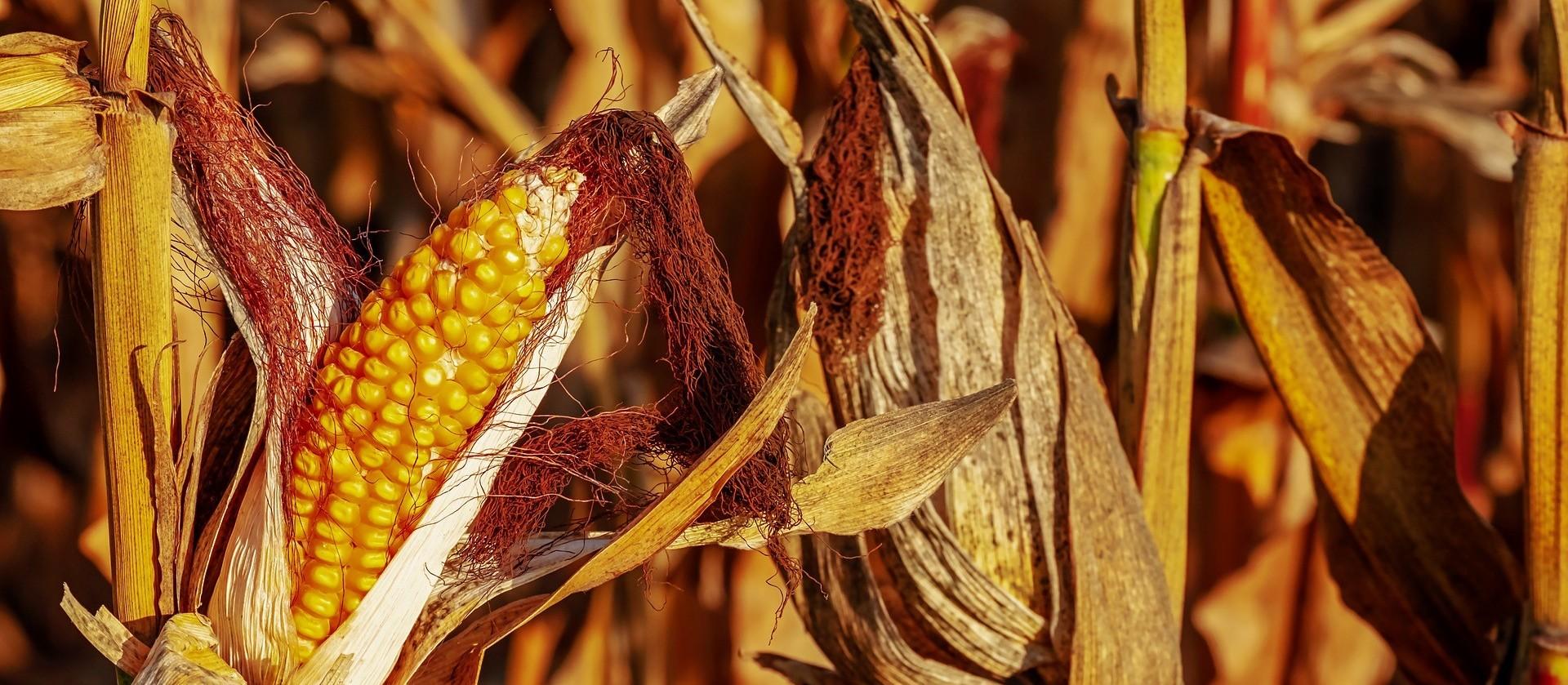 Preço do milho dispara no mercado interno