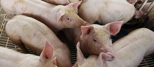 Preço do suíno em Maringá é o menor do estado