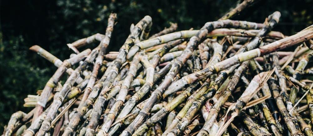 Embrapa entra em fase final de testes de cana resistente à broca e ao herbicida glifosato