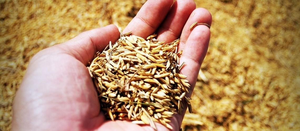 Preço do arroz segue valorizado após colheita chegar ao fim