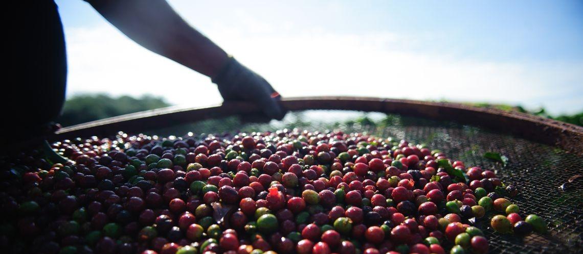 Devido a geada, café terá colheita 'cheia' este ano