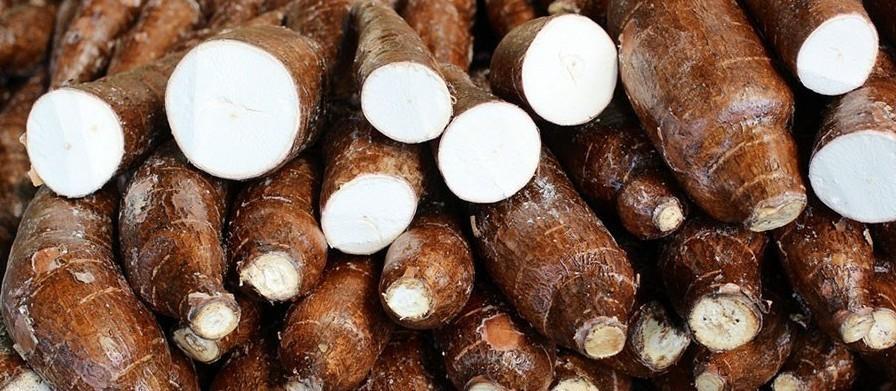 Raiz de mandioca custa R$ 350 a tonelada em Campo Mourão