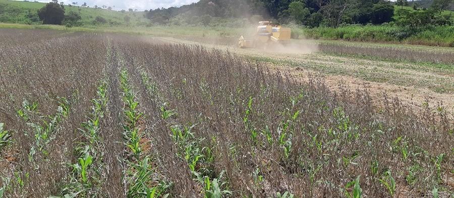 Plantio antecipado do milho safrinha, nas entrelinhas da soja, pelo Sistema Antecipe da Embrapa