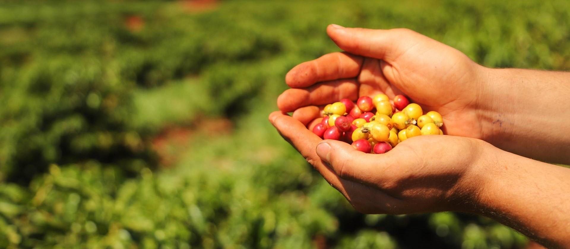 Pesquisadora da UEM estuda a cadeia de produção dos cafés especiais