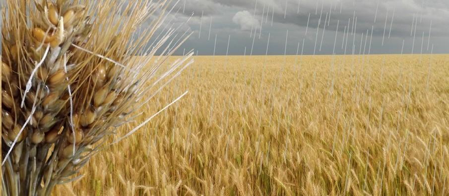 Como se planejar para evitar danos da chuva pré-colheita do Trigo