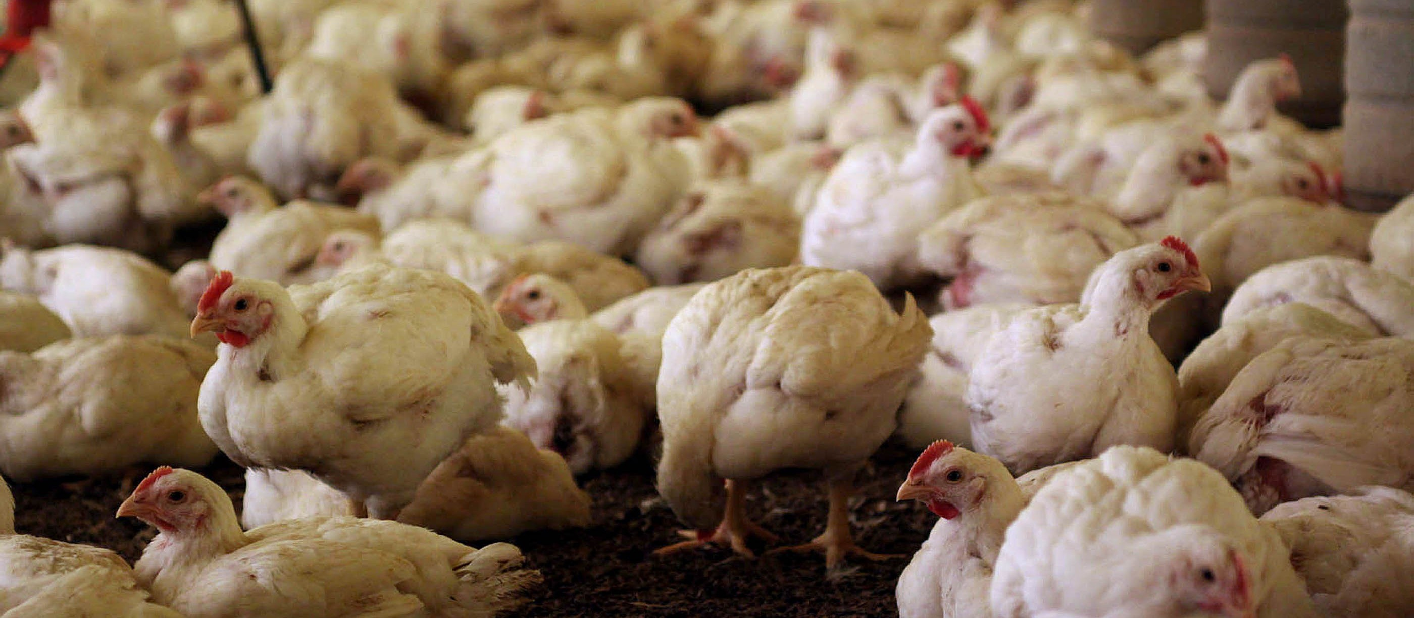 China aumenta compra de carne de frango do Brasil