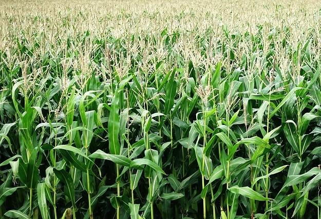 Produtividade média do milho este ano é 32% superior a safra passada