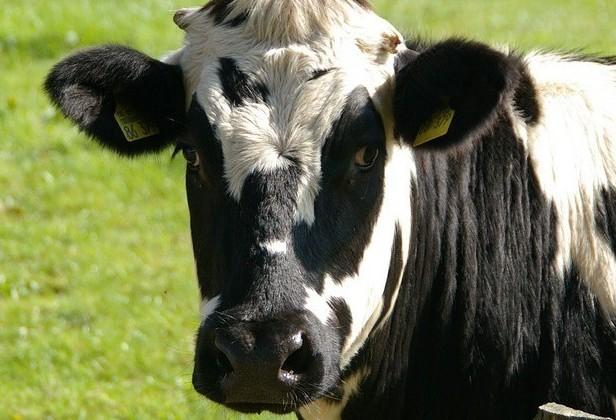 Vaca gorda custa R$ 135 a arroba em Paranavaí e Umuarama