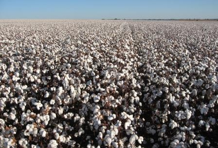 Brasil pode se tornar o segundo maior exportador mundial de algodão