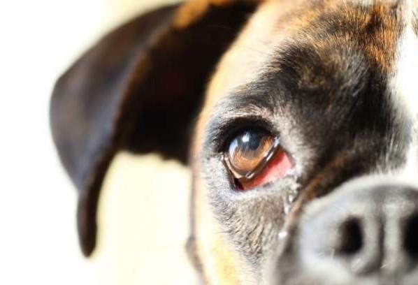 Três sinais de que seu pet pode estar com alguma doença nos olhos