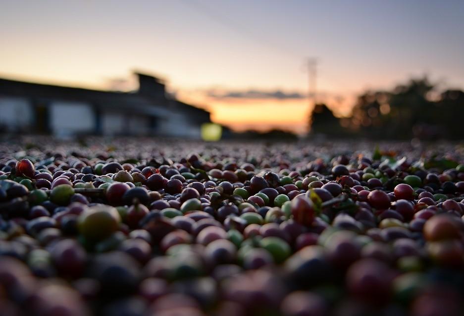 IICA alerta sobre os impactos negativos dos baixos preços do café