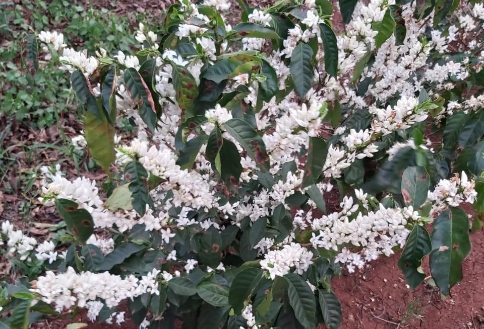 Começa a florada do café em lavouras mais novas
