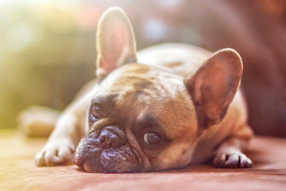 Como acalmar os cães quando é preciso medicá-los?