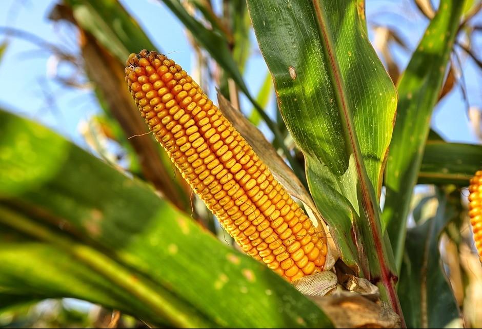 Preço do milho deve aumentar ainda mais, segundo analistas