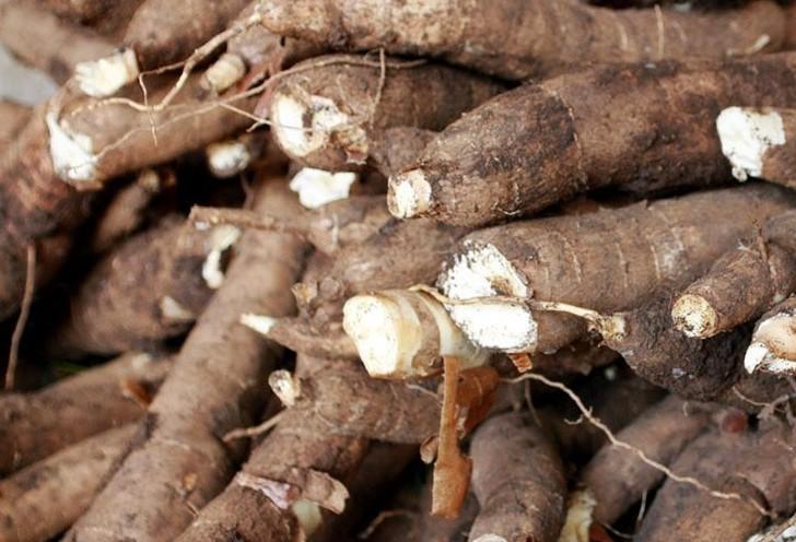 Tonelada da raiz de mandioca custa R$ 295 em Campo Mourão
