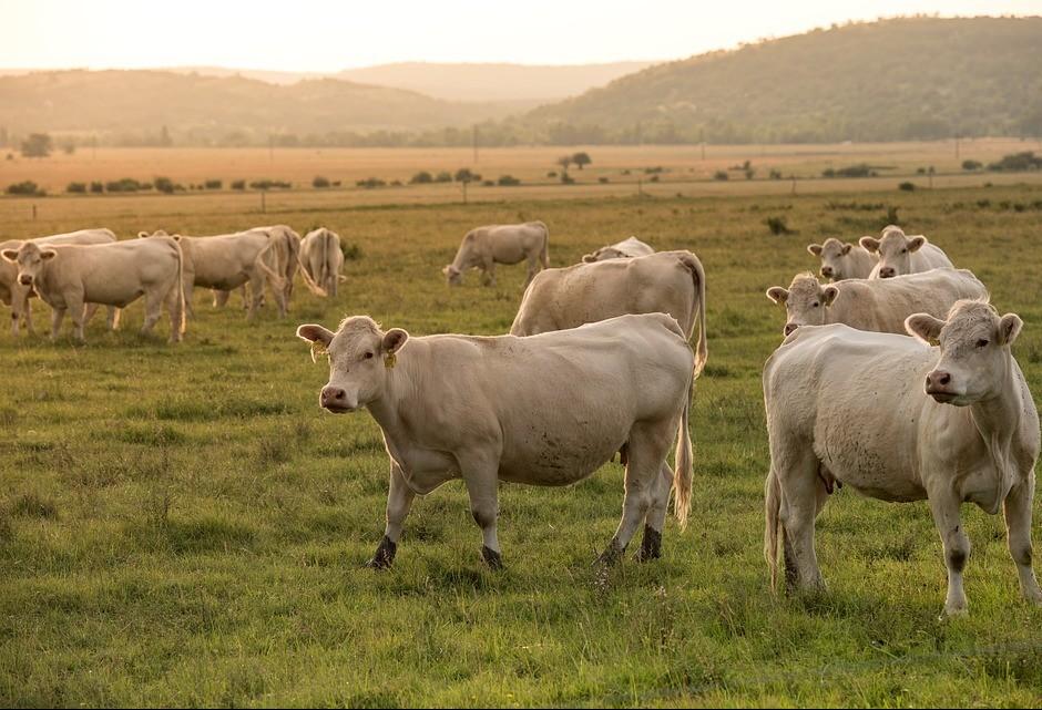 Vaca gorda custa R$ 138 a arroba em Londrina