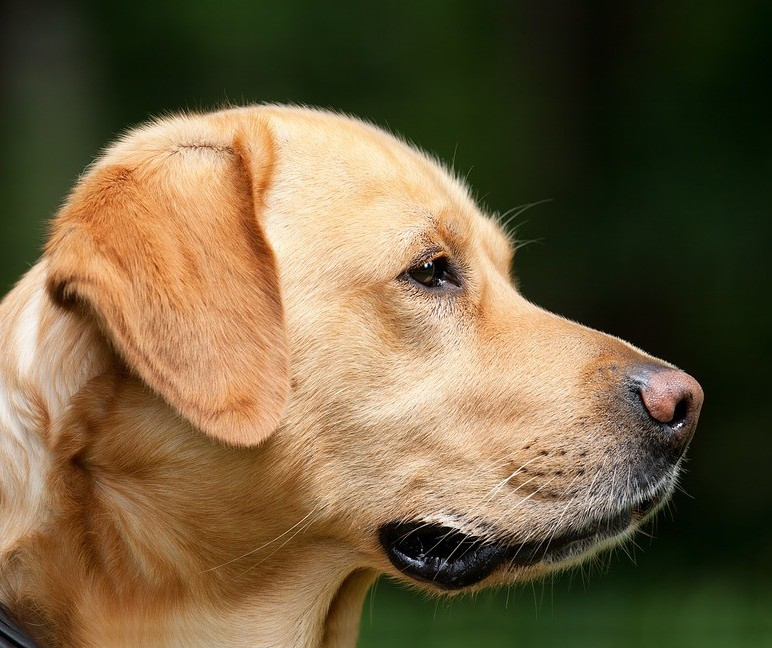 Os efeitos da Síndrome de Cushing nos pets
