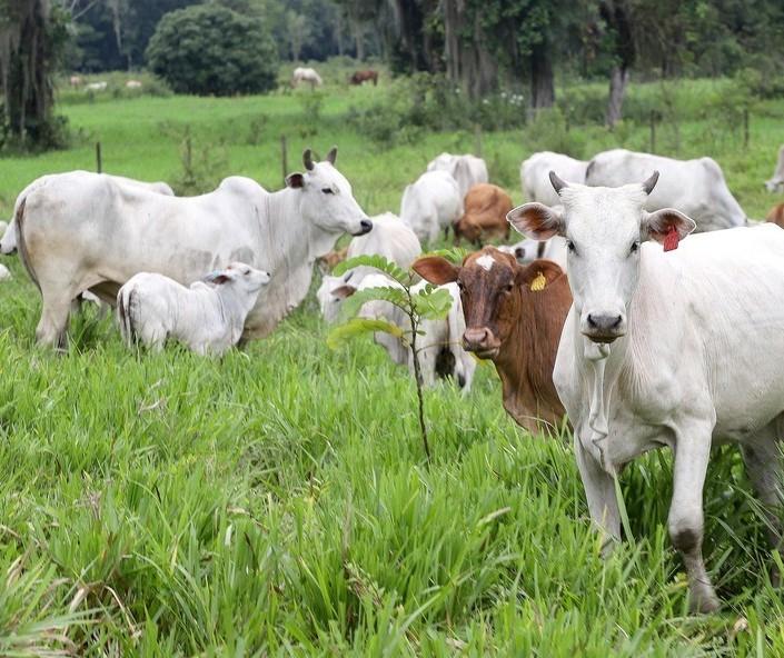 Baixa oferta de gado para reposição sustenta preços recordes, diz Cepea