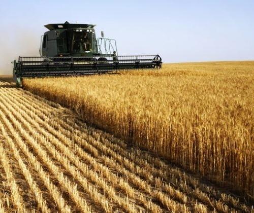 Área colhida do trigo chega a 86% no Paraná