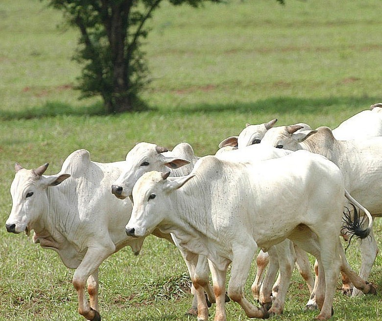 Boi gordo custa R$ 215 a arroba em Umuarama
