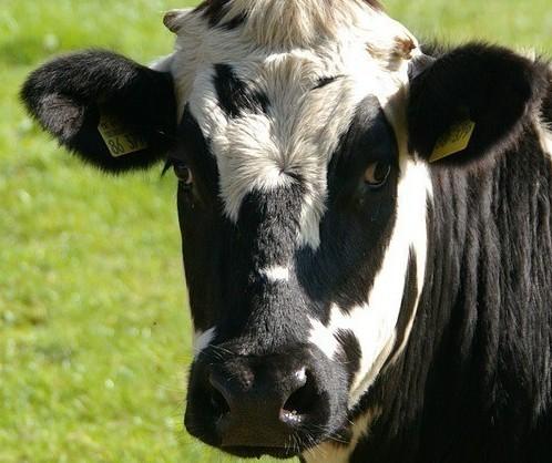 Vaca gorda custa R$ 230 a arroba em Londrina e Umuarama