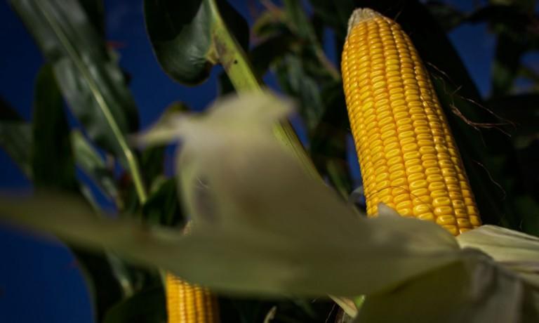 Preços do milho e da soja indicam estabilidade em projeções futuras