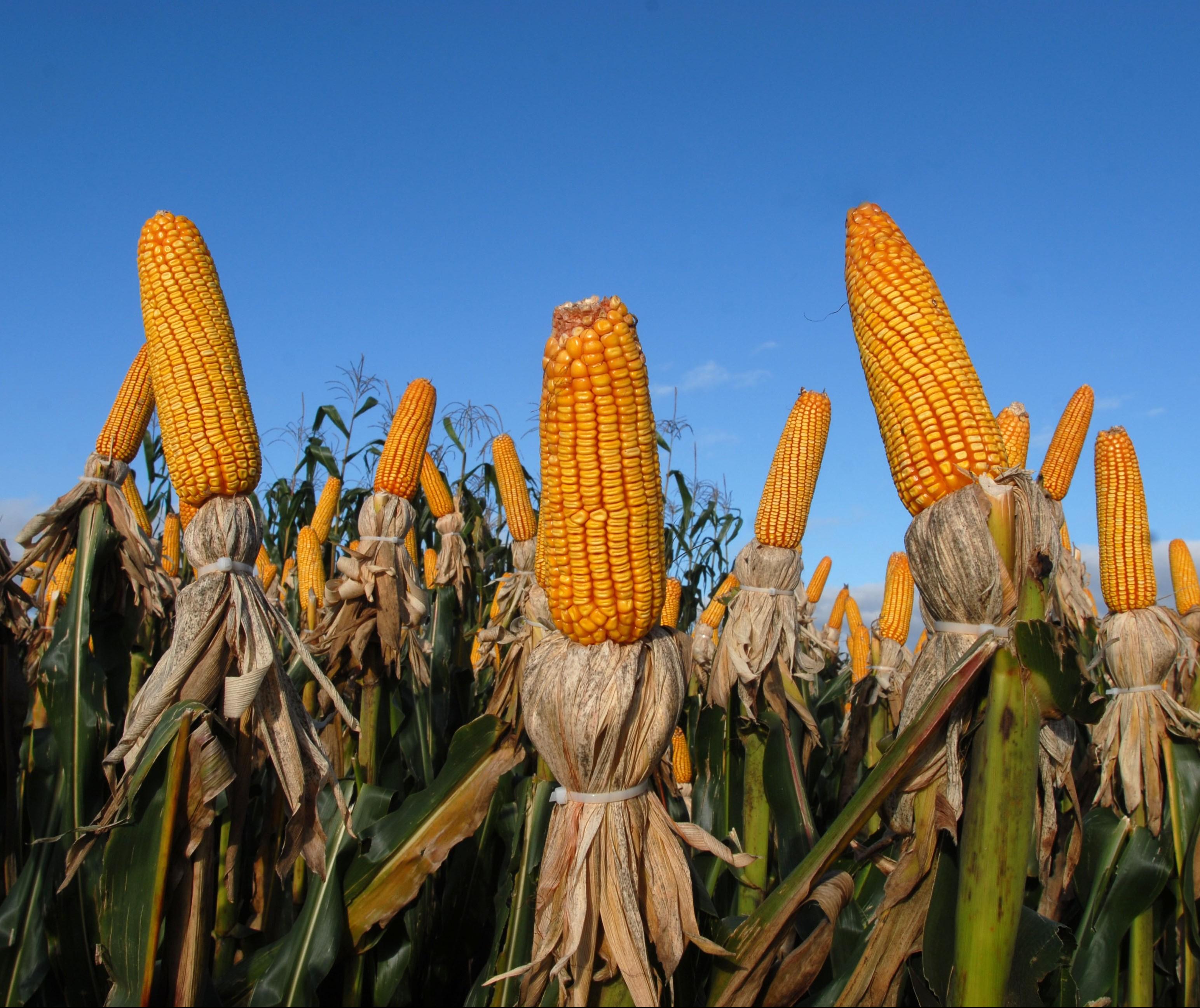 Preços do milho dispararam no mercado interno em 1 ano