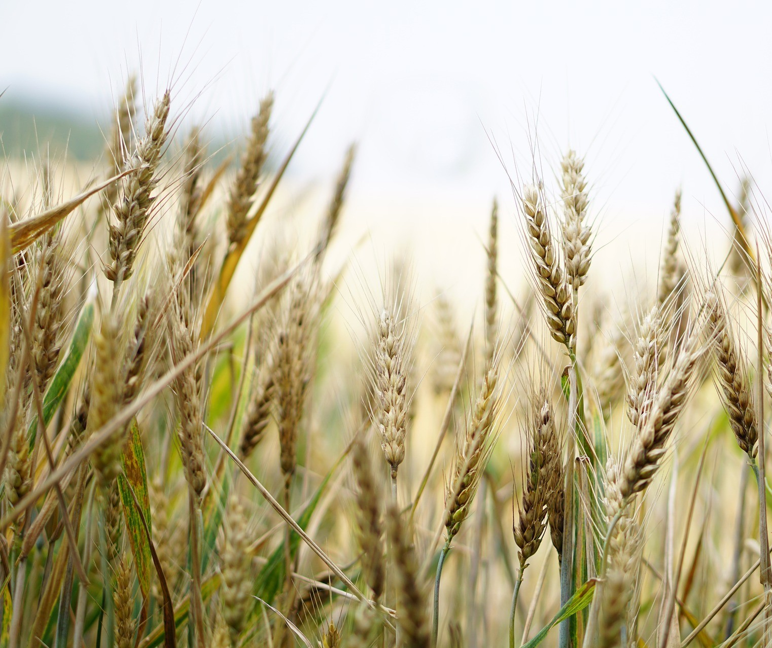 Associação pede que Brasil não libere entrada de trigo transgênico da Argentina