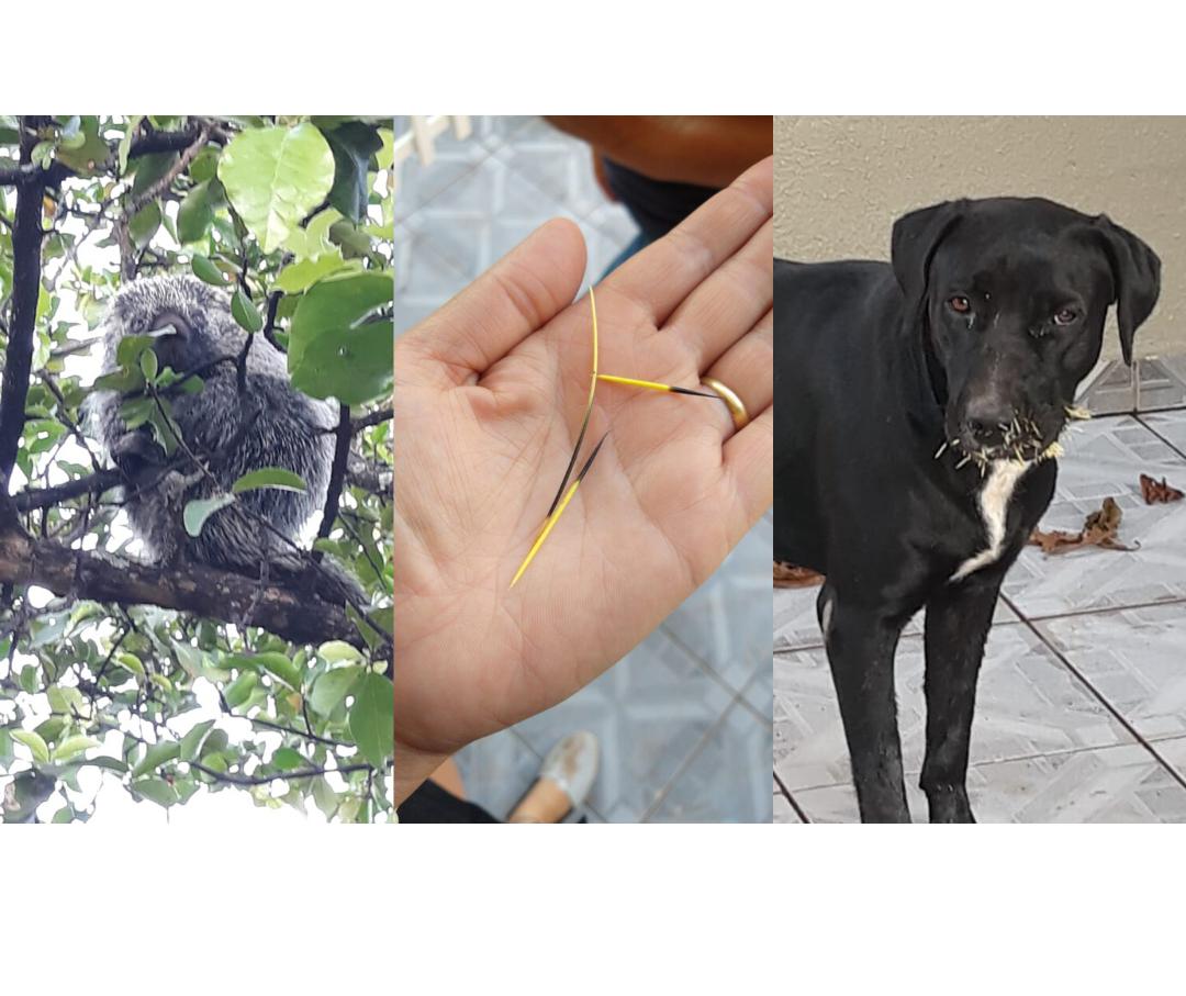 Ouriço deixa moradores do jardim Alvorada em alerta