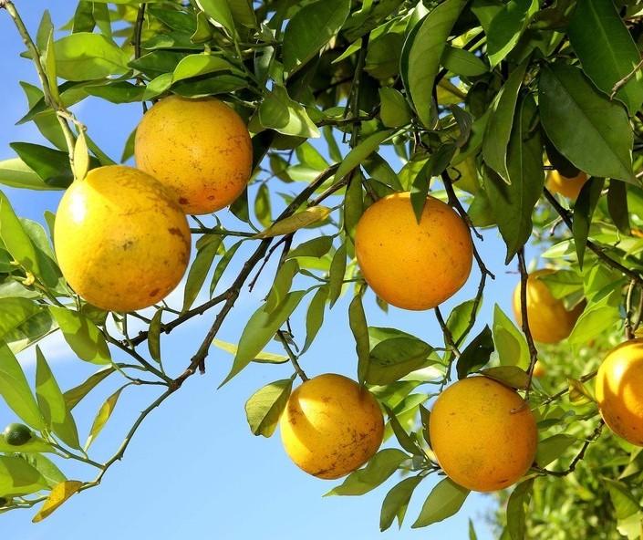Preços da laranja seguem em alta desde o início da safra