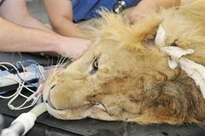 Tratamento parecido com hemodiálise pode devolver movimento das patas do leão Ariel