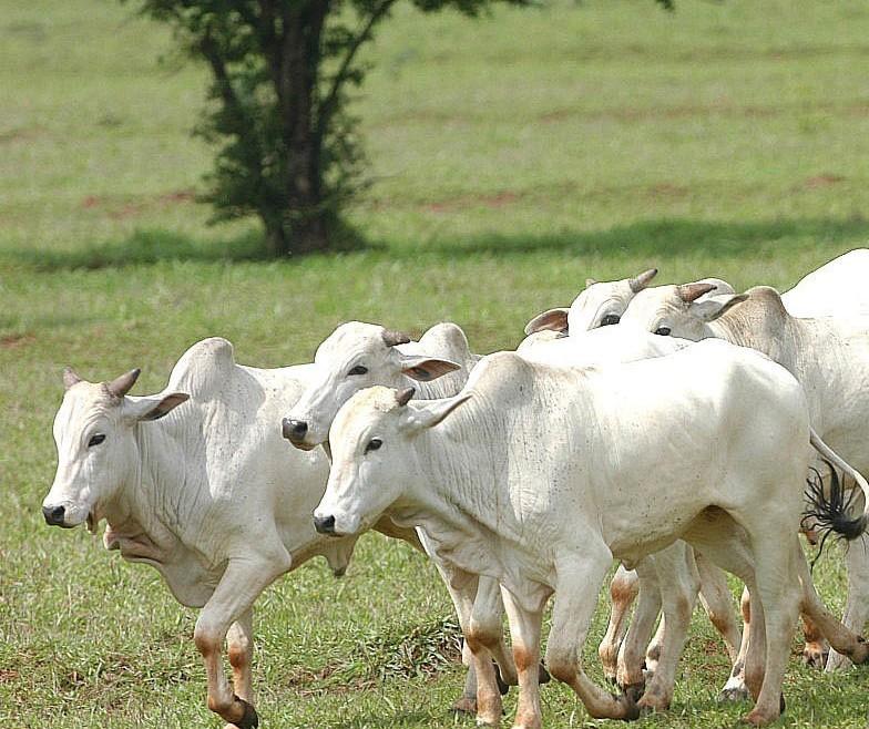 Boi gordo custa R$ 200 a arroba em Umuarama