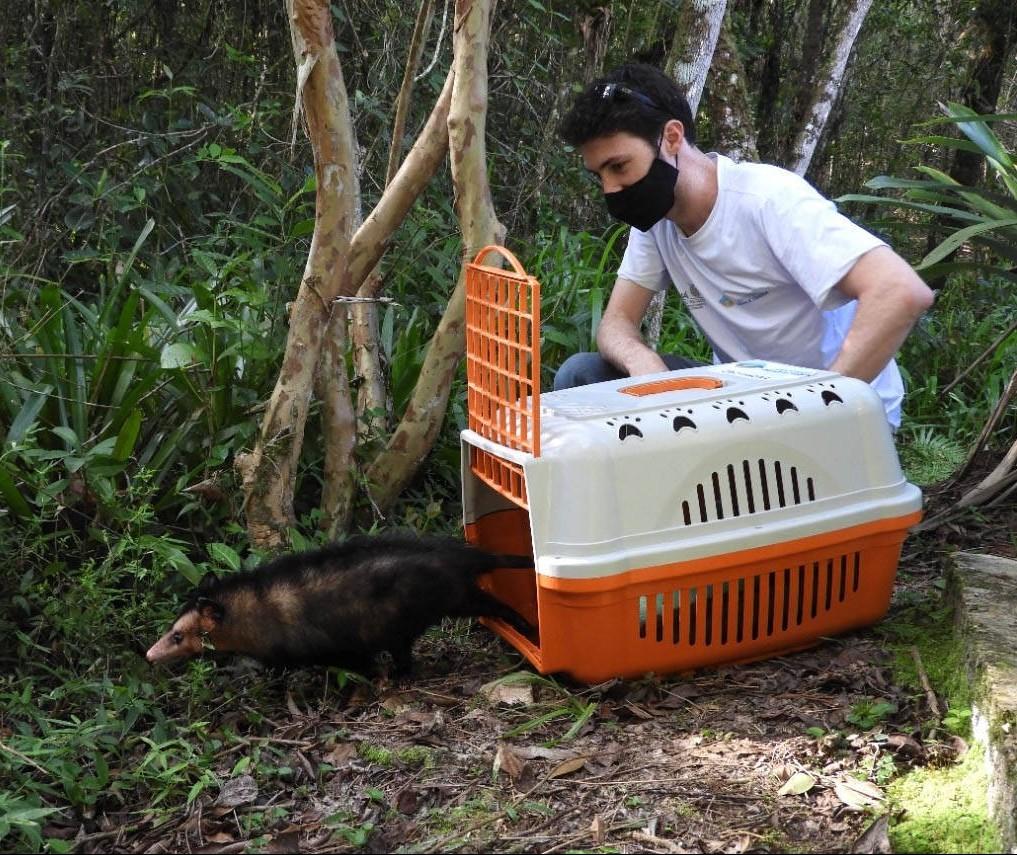 Na época de reprodução dos gambás, IAT reforça a importância da espécie para o ecossistema