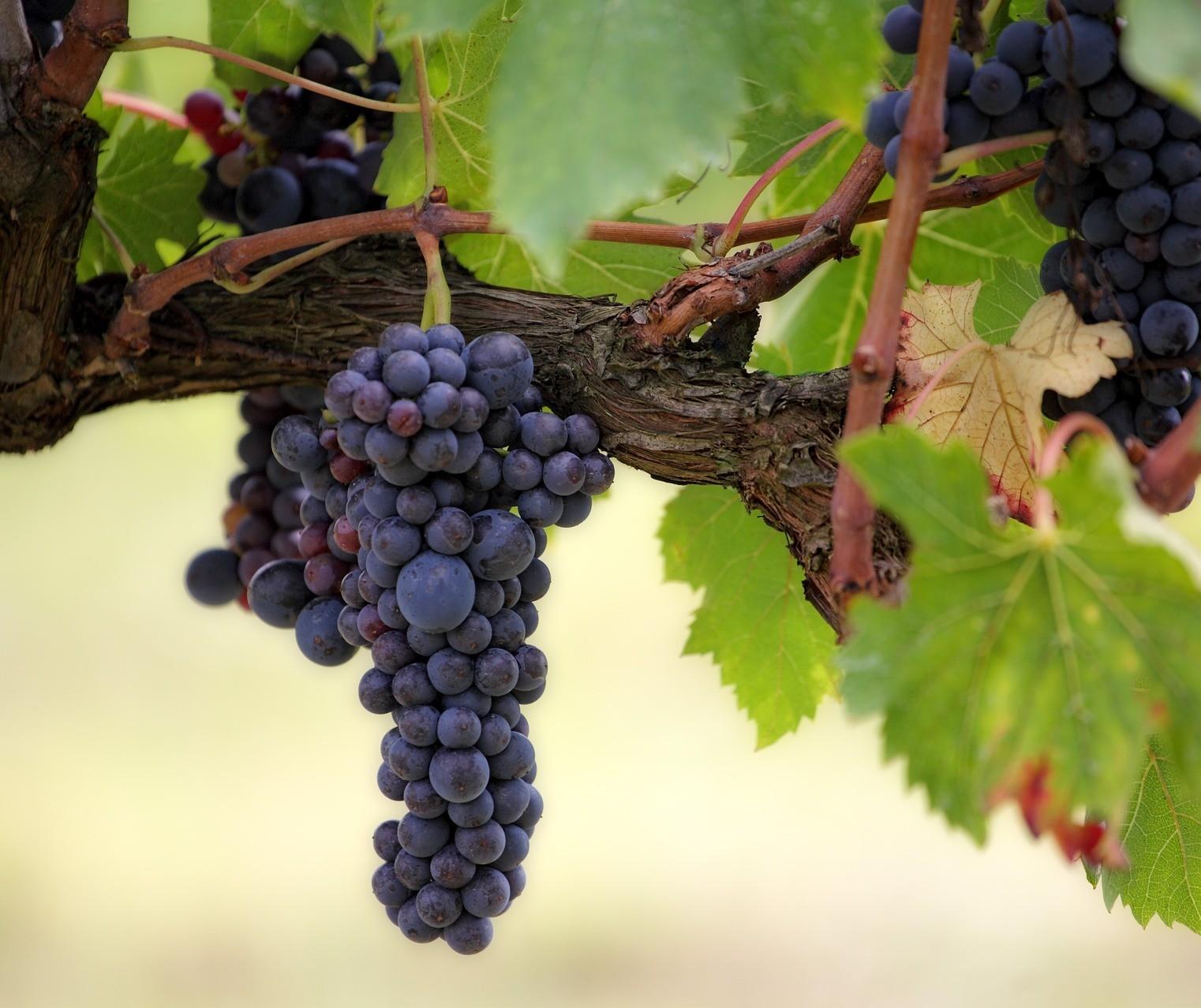 Cabernet Sauvignon, a uva mais plantada do mundo