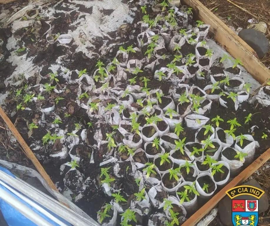 Polícia localiza plantação de maconha com mais de 260 mudas na PR-323