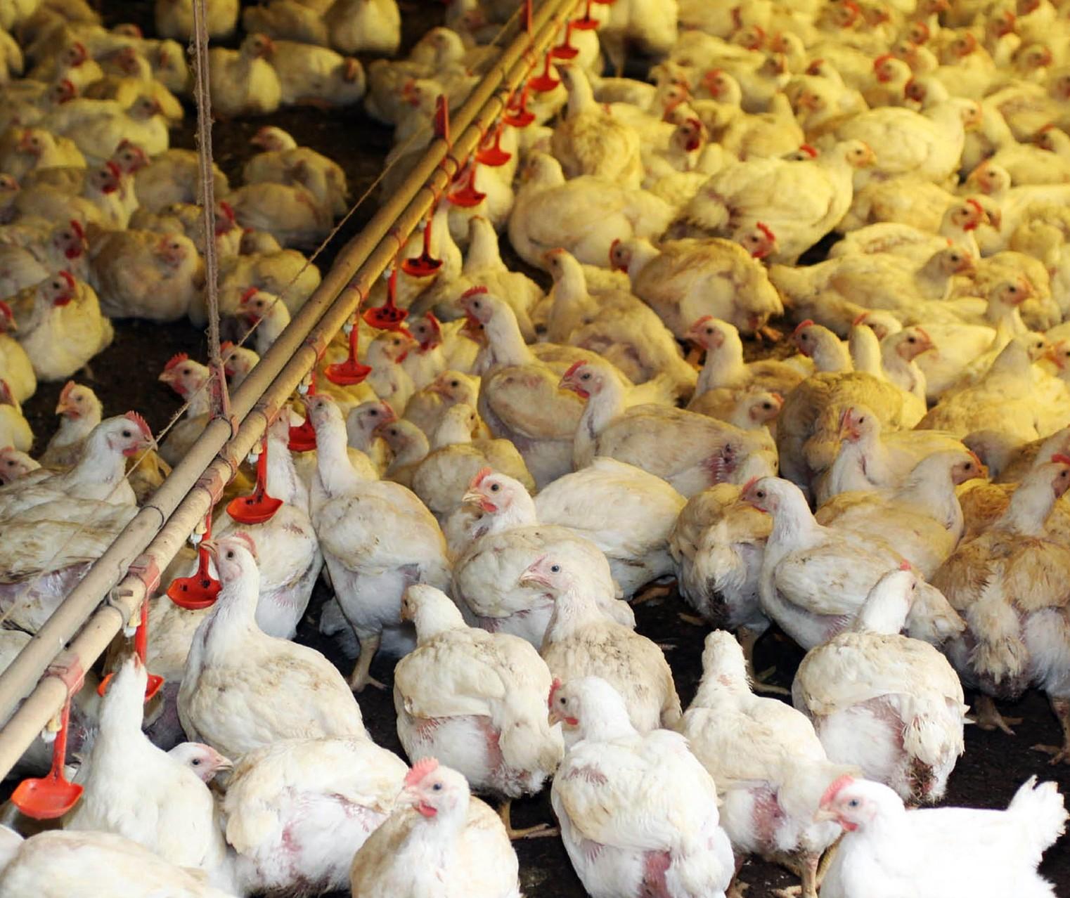 Setor avícola brasileiro cresce 6,5% no acumulado de janeiro a junho