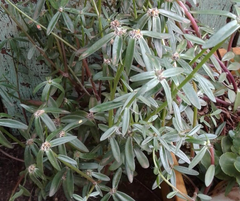 Maringá: planta que nasceu de semente da China é recolhida para testes